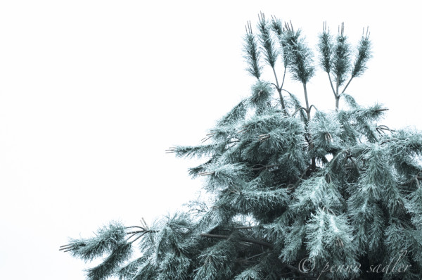 pine tree covered in ice Dallas @PennySadler 2013
