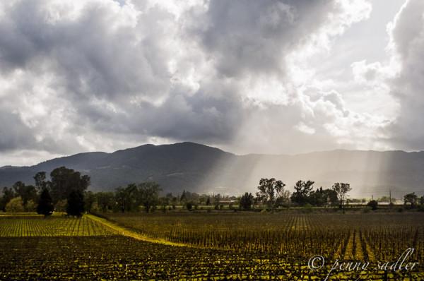 Vineyard in Napa Valley California @PennySadler 2014