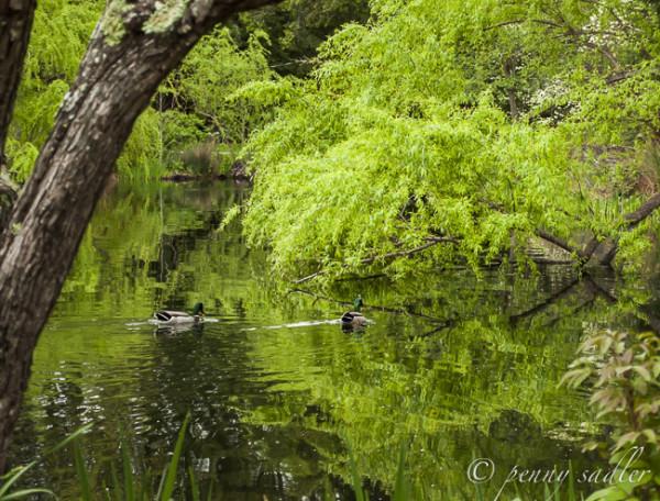ducks, Chateau Montelena @PennySadler 2014