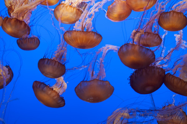 Monterey Bay Aquairium jellyfish @PennySadler