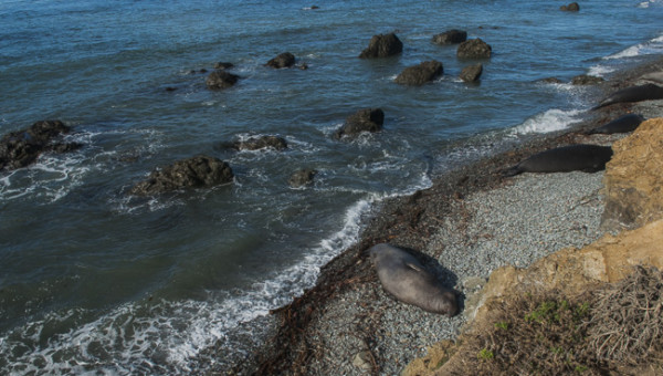 Elephant seals near Cambria California @PennySadler 2015
