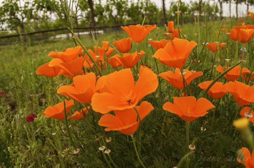 Poppies in Fredericksburg from, 17 reasons to visit the Texas Hill Country now