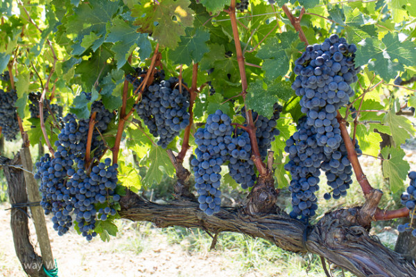 Italian moments from puglia to the dolomites 2015 Sangiovese grapes.