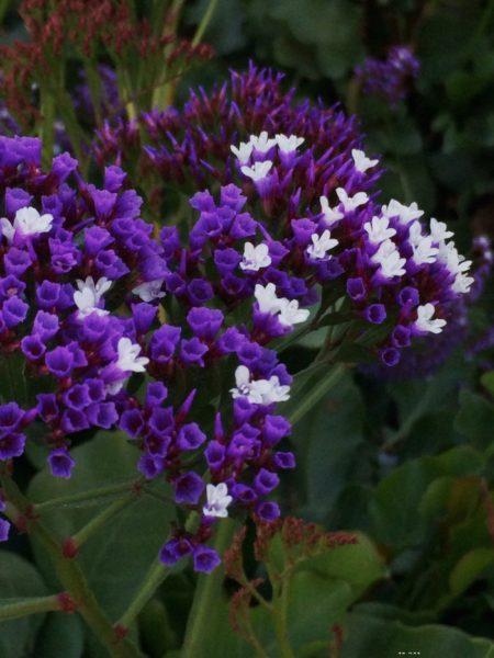 purple flowers at a wine tasting in Santa Barbara