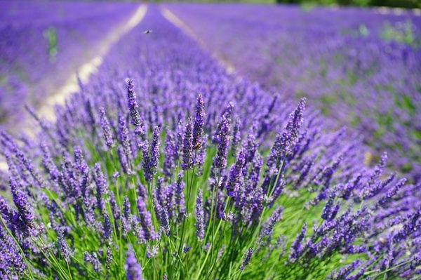 relieve travel stress with lavender aromatherapy