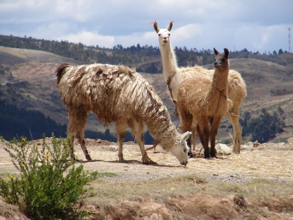 llamas on a group travel tour experience