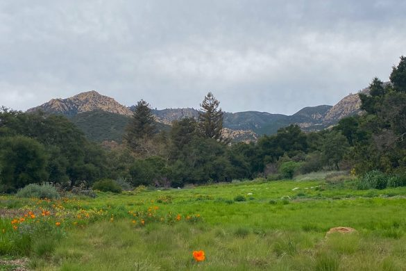 California poppies Santa Barbara @PennySadler 2020