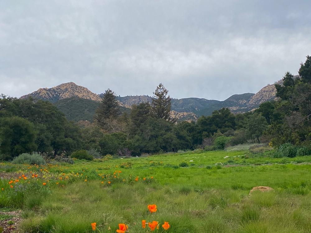 California poppies Santa Barbara @PennySadler 2020
