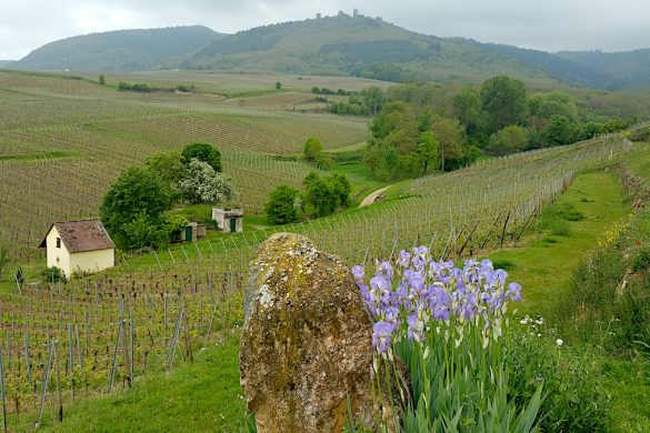Grand cru vineyards and irises in Alsace